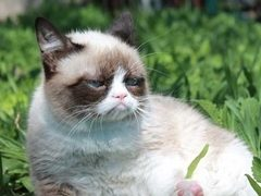 Grumpy Cat, pisica care va juca intr-un film la Hollywood